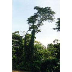 amazon tree, brazil I 2002 I 20 x 30 inches I edition: 5